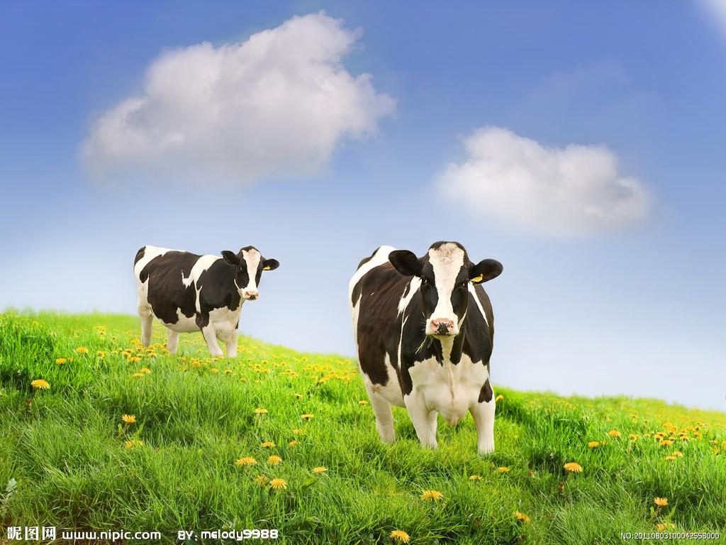 大奶牛bt_天津口岸去年进口9万奶牛